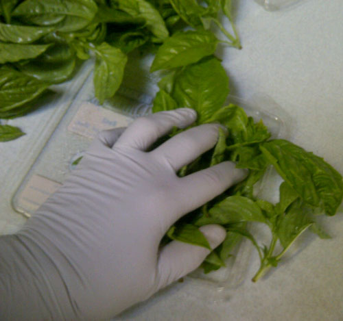 packing fresh basil